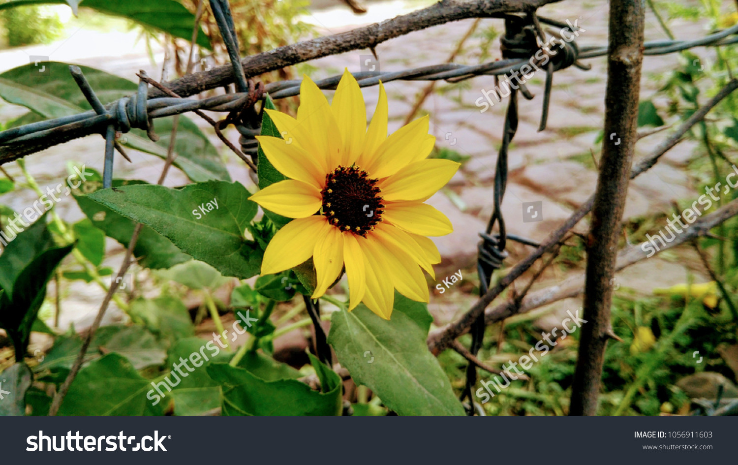 stock photo new beautiful sunflower wallpaper this picture is good background wallpaper latest wallpaper