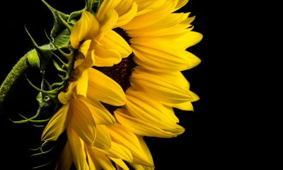 Background Sunflower Wallpaper Outstanding Yellow Sunflower Black Background Wallpaper Free