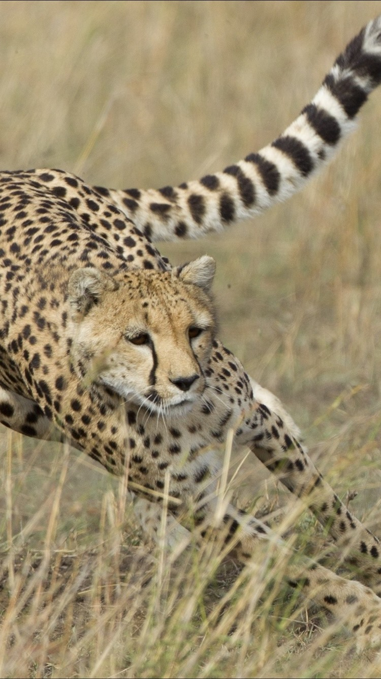 Cheetah hunting deer speed iphone wallpaper