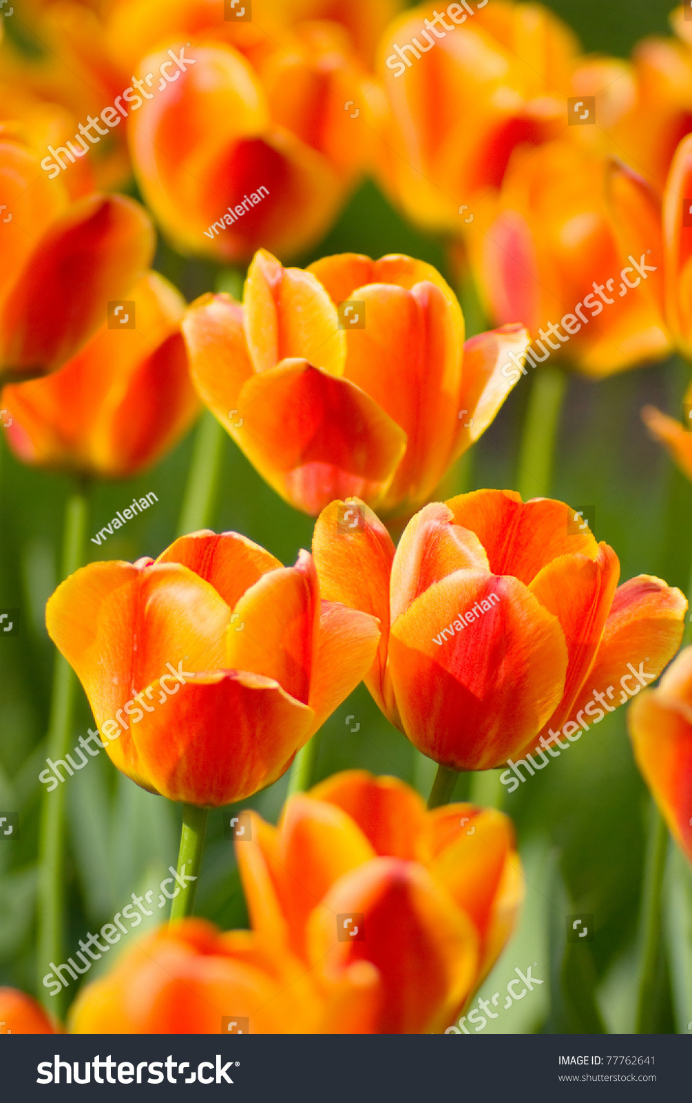 stock photo red orange yellow tulips flower shot from below close up with tulip background pattern