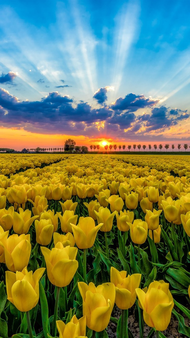 Yellow tulips field trees blue sky clouds sunset iphone wallpaper