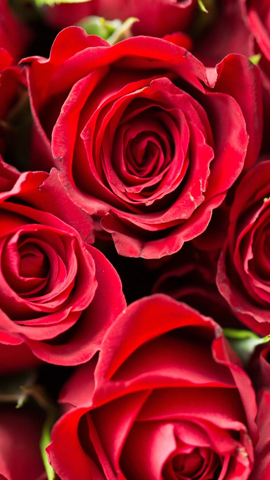 mxhbR rose flower red 4k valentines day wallpapers iphone