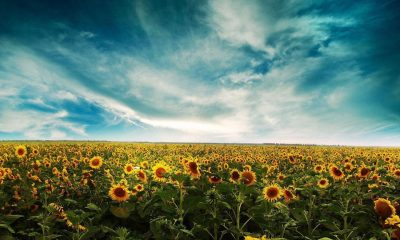 Wallpaper Sunflower Background Remarkable Sunflower Backgrounds Wallpaper Cave Background Laptop